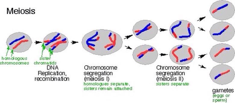 following chromosomal dna movement procedure meiosis i