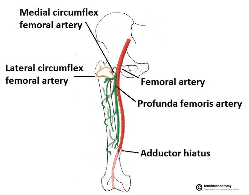 print gsu blood vessels of the lower limb flashcards