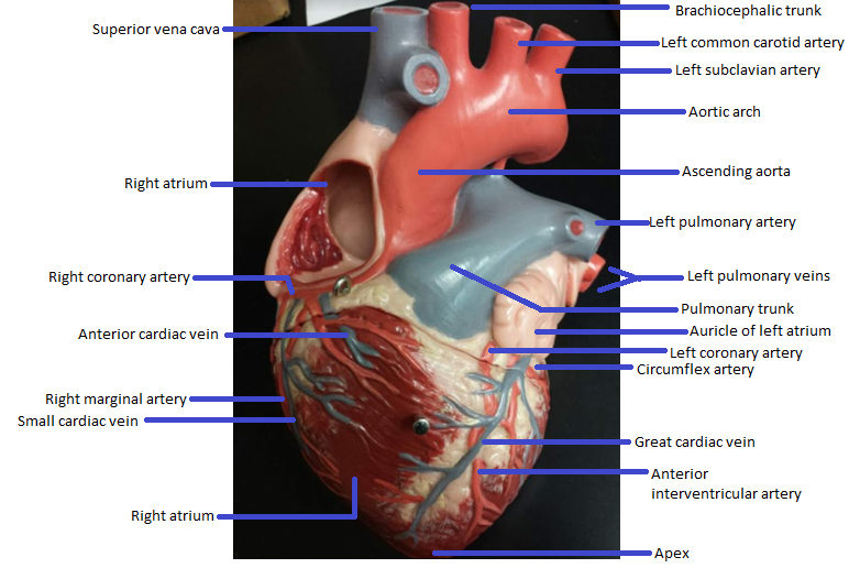 Activity 1 Gross Anatomy Of The Human Heart And Using The Heart