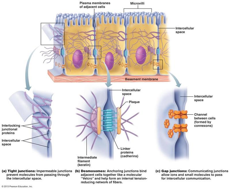type of cell junction anchors adjacent cells and resist thai separates during contractile activities