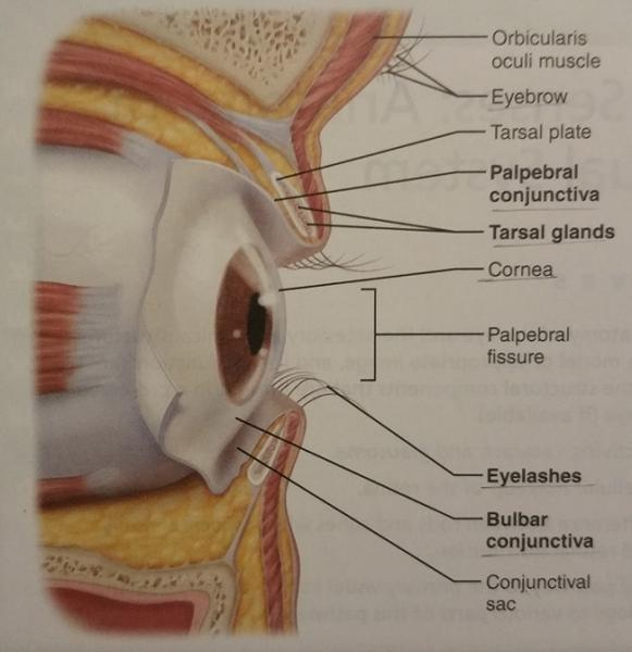 Activity 1 Anatomy Of The Eye And Identifying Accessory Eye