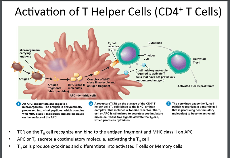 label the components of the activation of a helper t cell by a dendritic cell