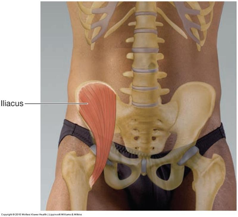 Anatomy of Movement- muscles in pelvis, thigh, and knee Flashcards ...