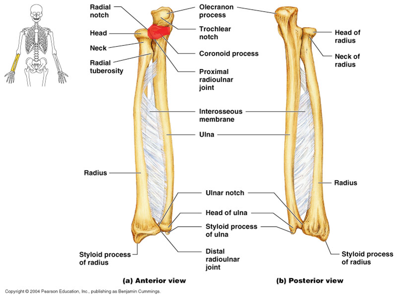 Contemporary What Does Articulate Mean In Anatomy Collection - Image ...