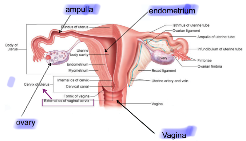 Fallopian tube also called oviduct or uterine tube either of a pair of long narrow ducts located in the human female abdominal cavity that transport