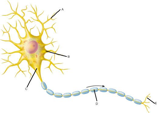 Print chapter 11 flashcards easy notecards which areas of this neuron would be classified as receptive regions ccuart Image collections