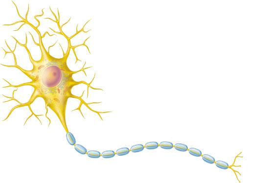 517 x 374 jpeg 15kBOligodendrocytes