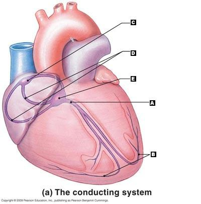 Chapter 20 the heart flashcards easy notecards label the following structures of the conducting system of the heart ccuart Image collections
