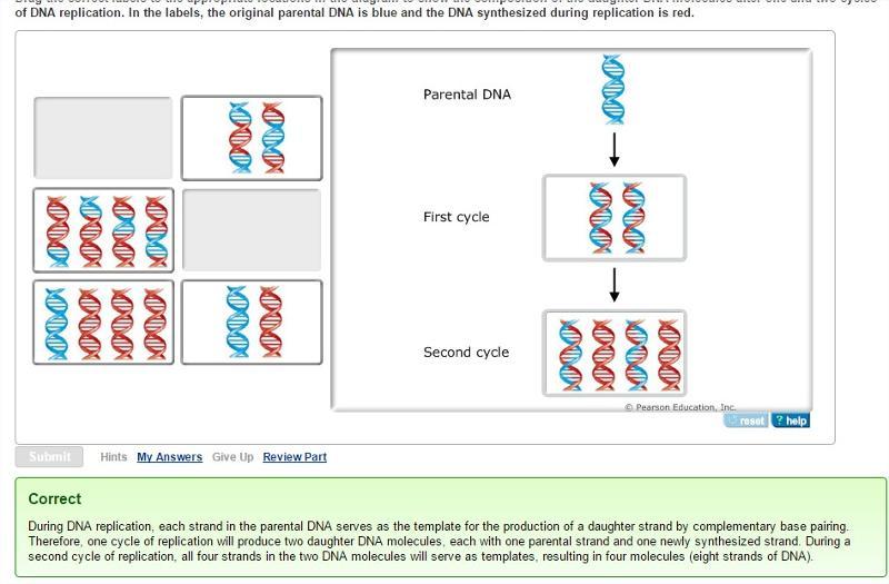 chapter 16 molecular basis of inheritance flashcards easy notecards. Black Bedroom Furniture Sets. Home Design Ideas