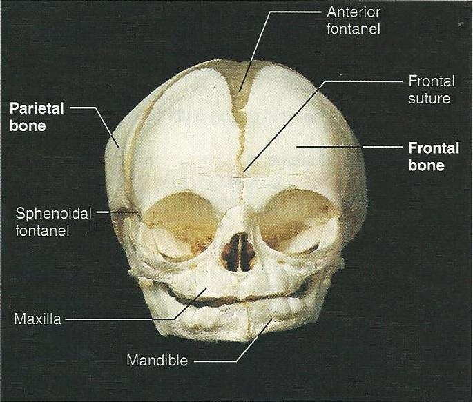 Print Exercise 12  The Fetal Skeleton Flashcards