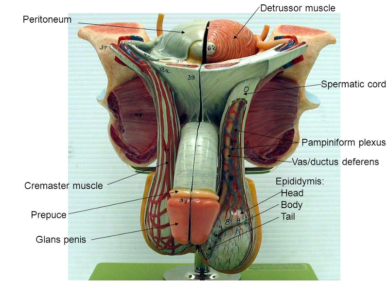 Activity 1: Identifying Male Reproductive Organs and Gross Anatomy ...
