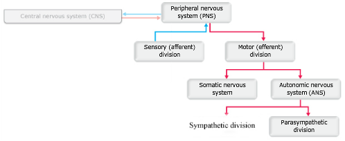 Print ap chapter 14 the autonomic nervous system flashcards easy drag the appropriate labels to their respective targets ccuart Image collections