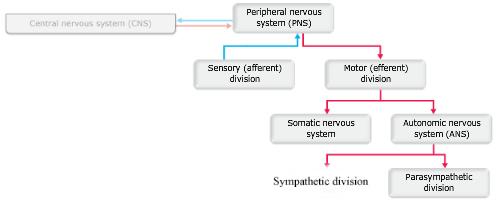 Print ap chapter 14 the autonomic nervous system flashcards easy print options ccuart Choice Image