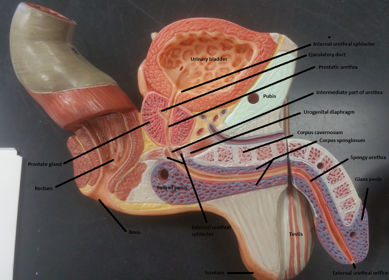 Activity 1 Identifying Male Reproductive Organs And Gross Anatomy