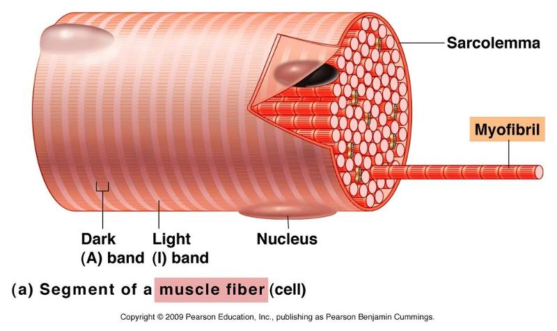 Microscopic Muscle Anatomy And Muscle Physiology Week  10