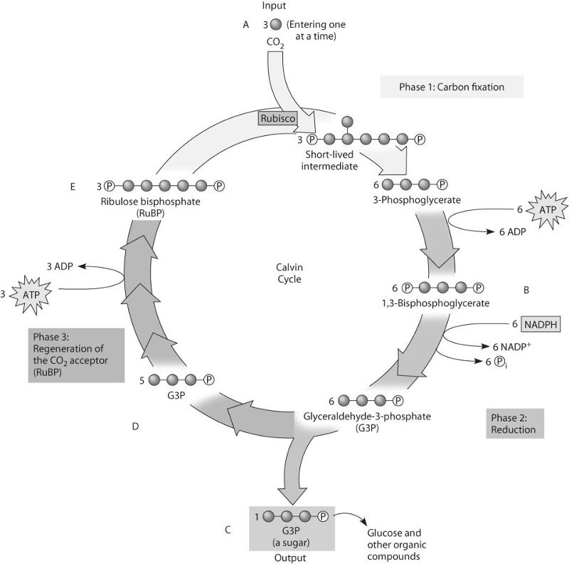 Calvin cycle diagram quiz introduction to electrical wiring diagrams the calvin cycle worksheet student worksheet the calvin cycle rh aujsa com calvin cycle diagram worksheet calvin cycle diagram quiz ccuart Images