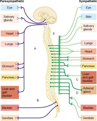 A&P Chapter 14 The Autonomic Nervous System Flashcards | Easy