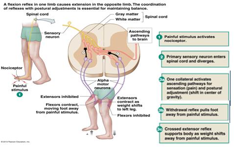 2 reflexes and postural control krigolson teaching diagram polysynaptic stretch reflex ccuart Gallery