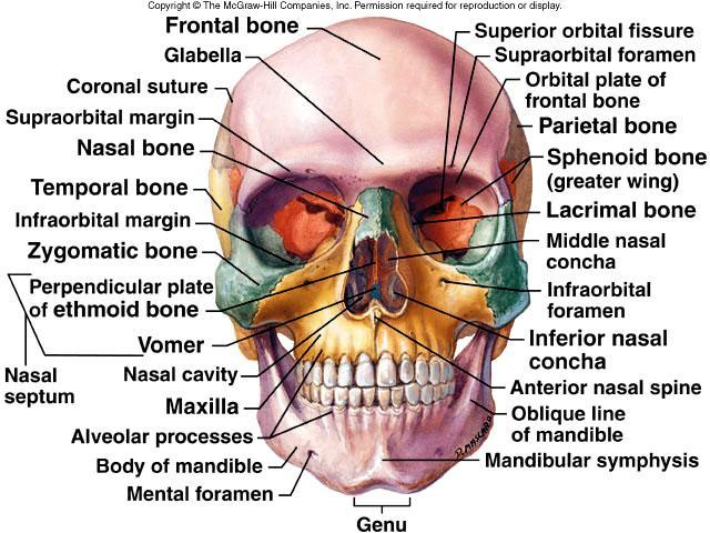 Week  4 Axial Skeleton  Continued  Flashcards