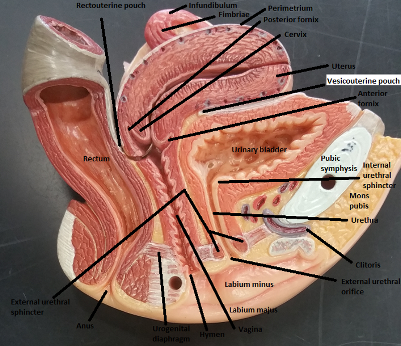 Print Activity 3  Gross Anatomy Of The Human Reproductive