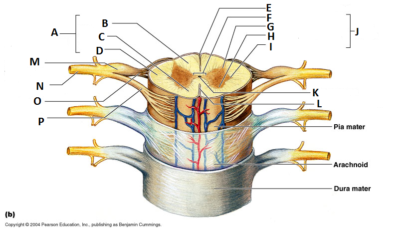 Chapter 21 - Spinal Cord and Spinal Nerves Flashcards | Easy Notecards