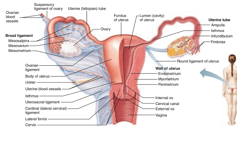 Activity 3: Gross Anatomy of the Human Reproductive System and ...