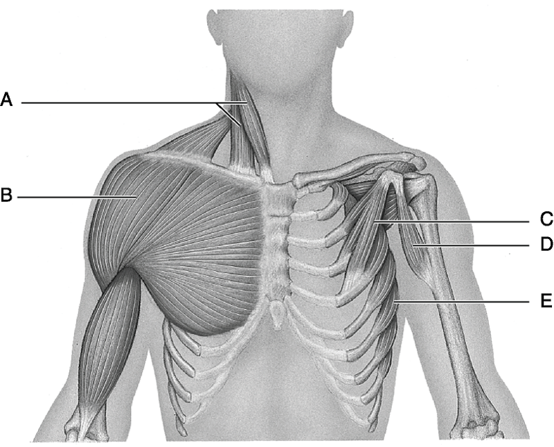 Labeled Clavicle