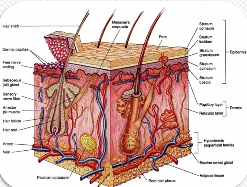 This Skin Diagram Lists All The Important Parts Of Human Skin