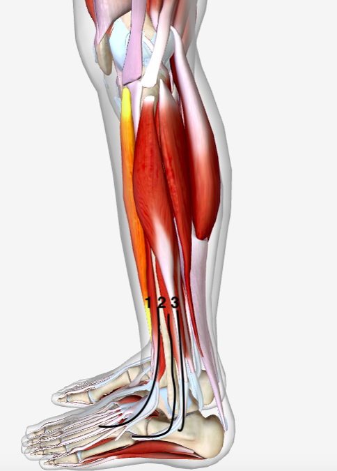 fibularis longus pain - 484×675