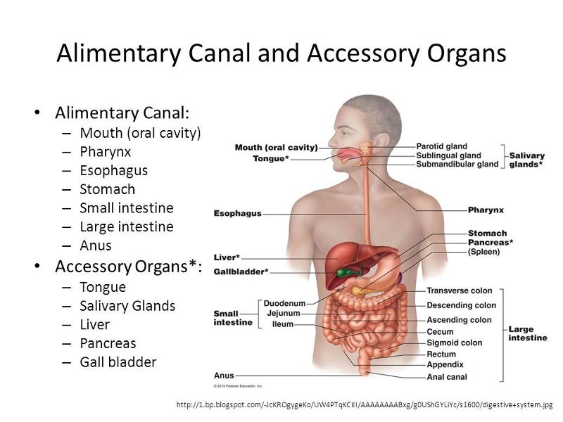 the digestive process of food in the alimentary canal and accessory digestive organs in the digestiv The digestive system uses mechanical and chemical activities to break food  down  these processes, ingestion, refers to the entry of food into the alimentary  canal  conditions that affect the function of accessory organs—and their  abilities to.