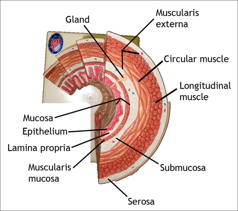 3861846 in addition Digestive System Diagram Labeled also SU BIO1014 W6 Lab Anatomy Reviewpdf also Blog Post 19 besides . on organs of alimentary c the 4 layers