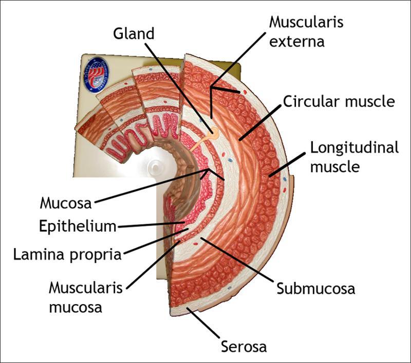 Nutrition: Digestive System Quiz II
