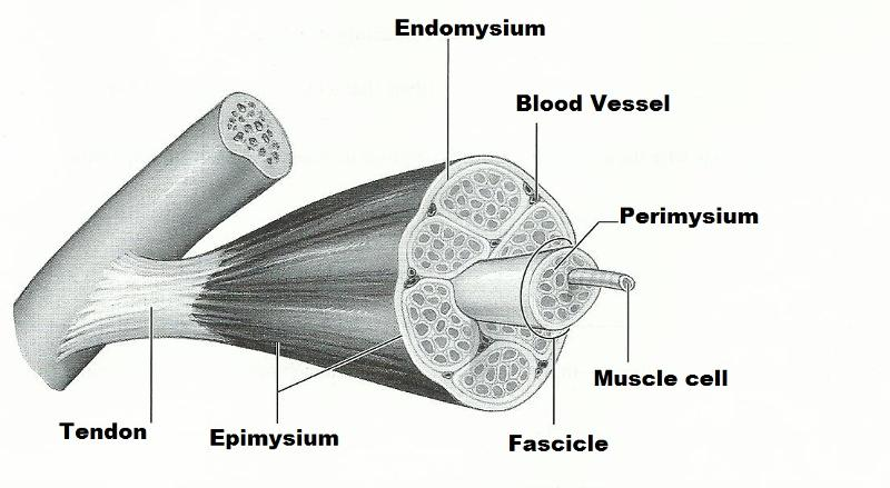Exercise 14 Microscopic Anatomy And Organization Of Skeletal Muscle