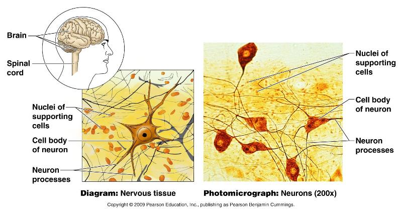 neural tissue Nerve tissue although the nervous system is very complex, there are only two main types of cells in nerve tissue the actual nerve cell is the neuron.