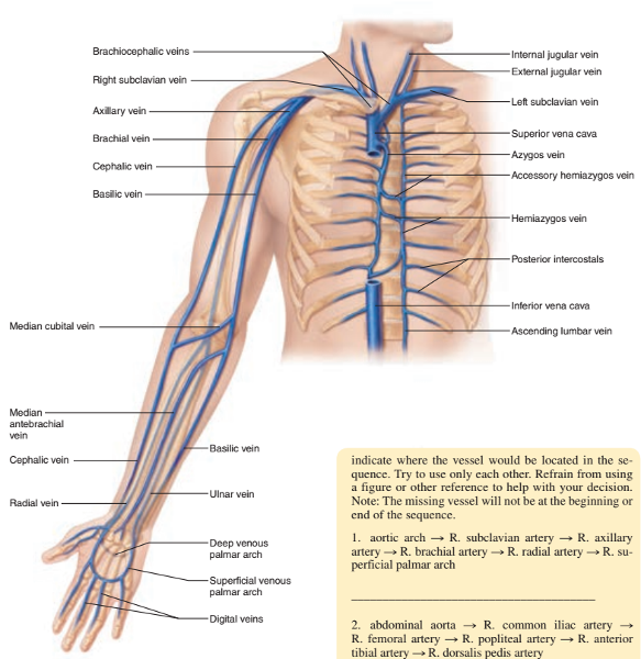 Print Activity 3: Identifying the Systemic Veins and Major Systemic ...