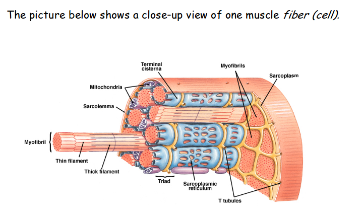 Print The Muscular System Flashcards Easy Notecards