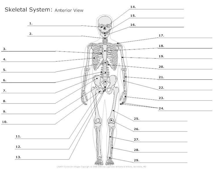 The Skeletal System Flashcards Easy Notecards