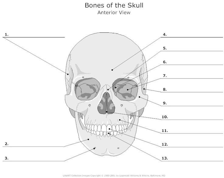The Skeletal System Flashcards