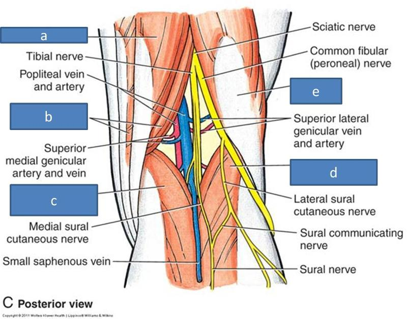Print Anatomy Block III- Popliteal Fossa and Leg flashcards | Easy ...