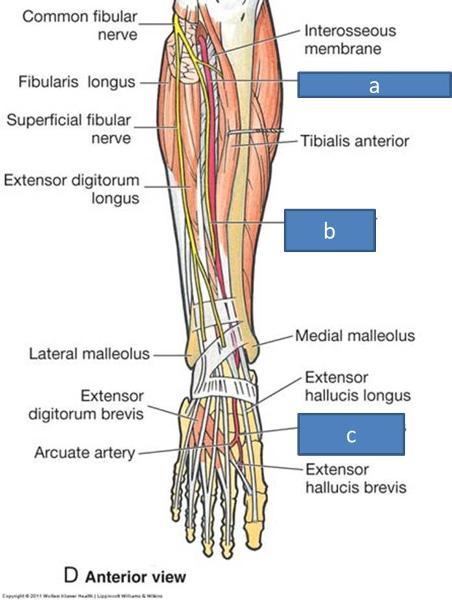 Anatomy Block Iii Popliteal Fossa And Leg Flashcards Easy Notecards