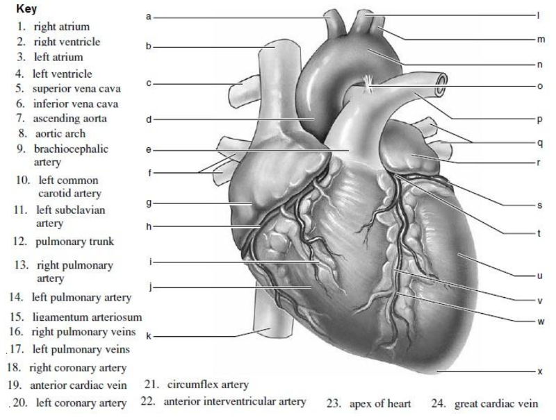 Ap 2 heart flashcards easy notecards an anterior view of the heart is shown here use the key 1 to 24and label the diagram bellow brachicephelic artery ccuart Images