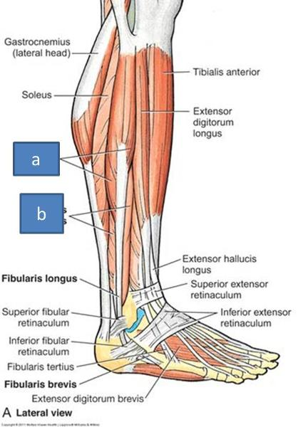 Print Anatomy Block III- Popliteal Fossa and Leg ...