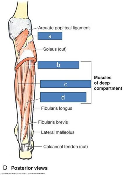 print anatomy block iii- popliteal fossa and leg flashcards | easy, Cephalic Vein