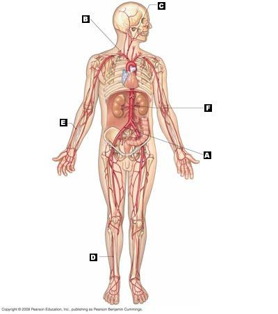 Chapter 14 the digestive system incredible Journey Answer Key