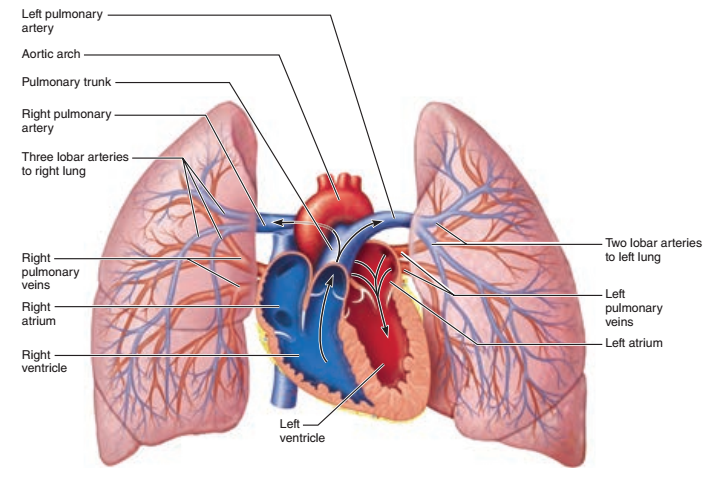 Activity 4 Pulmonary Circulation And Identifying Vessels Of The