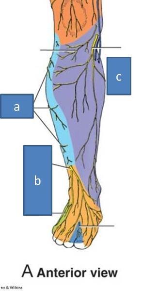 Fibularis Longus Foot