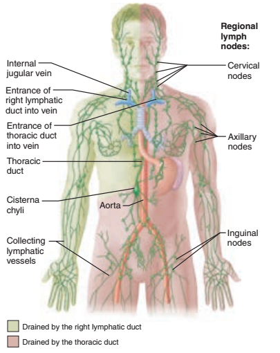 Print Activity 1 The Lymphatic System And Identifying The Organs Of