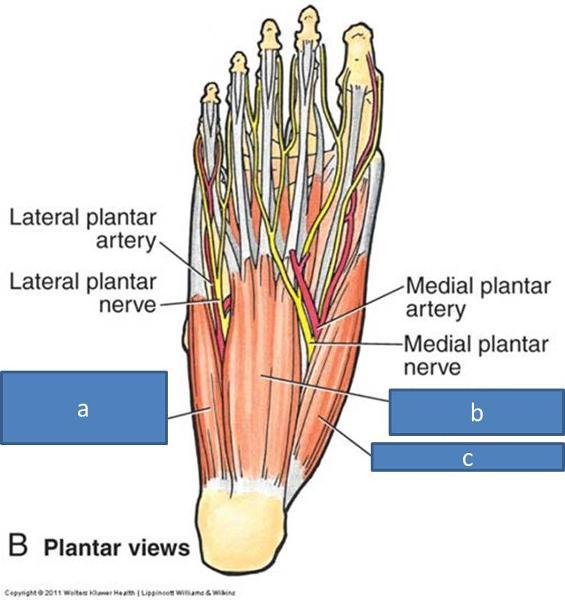 Print Anatomy Block Iii Foot Flashcards Easy Notecards