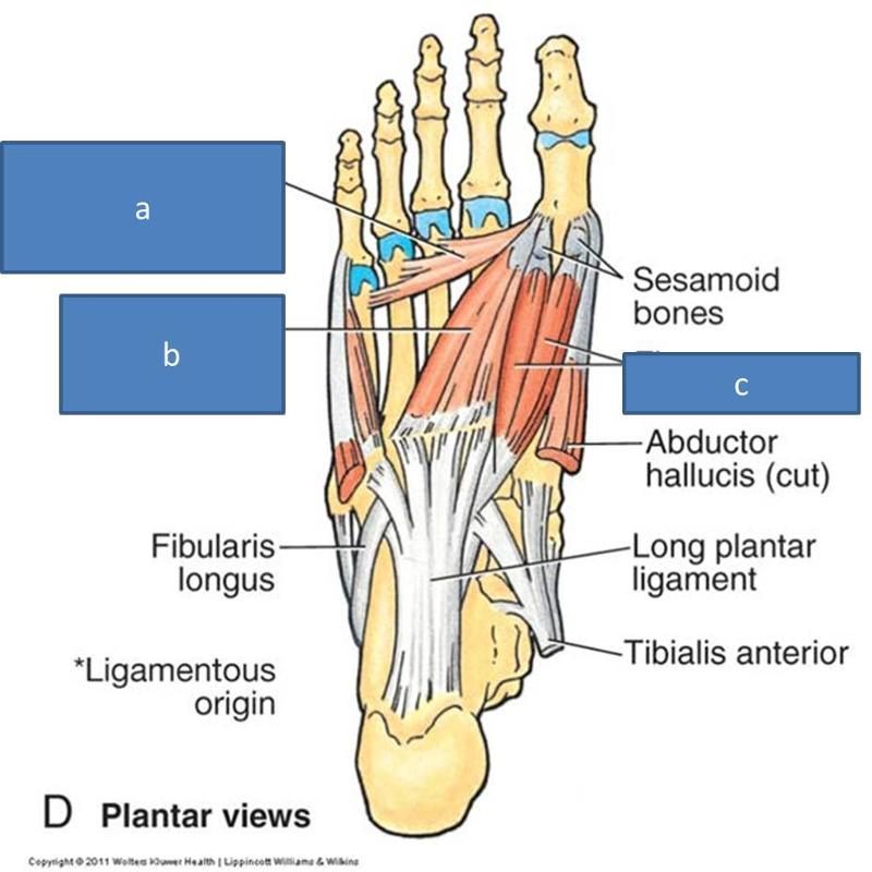 Anatomy Block III- Foot Flashcards | Easy Notecards