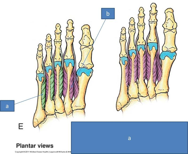 Print Anatomy Block III- Foot flashcards | Easy Notecards